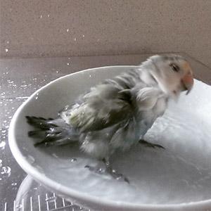 鳥フォトコンテスト「ぴーち」さん