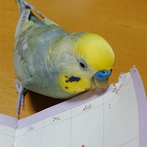 鳥フォトコンテスト「チロ」さん
