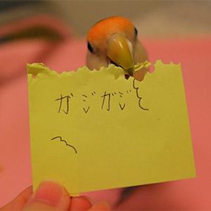 鳥フォトコンテスト「マム」さん