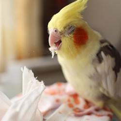 鳥フォトコンテスト「ガガ」さん