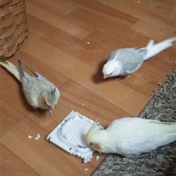 鳥フォトコンテスト「福・竹千代・蘭丸」さん