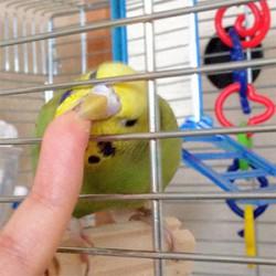 鳥フォトコンテスト「ねぎま」さん