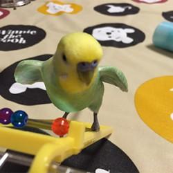 鳥フォトコンテスト「メロンちゃん」さん