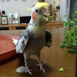 鳥フォトコンテスト「モカ」さん