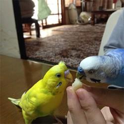 鳥フォトコンテスト「ひな・ぴーちゃん」さん