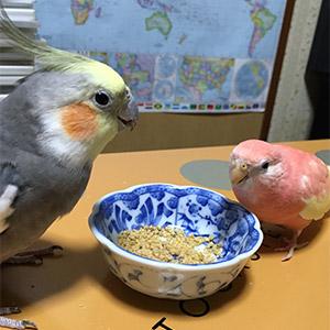 鳥フォトコンテスト「オカメン・こはる」さん
