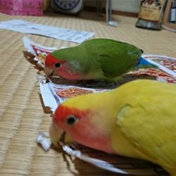 鳥フォトコンテスト「かんきつ・かぼす」さん