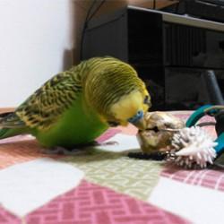 鳥フォトコンテスト「ピーちゃん」さん
