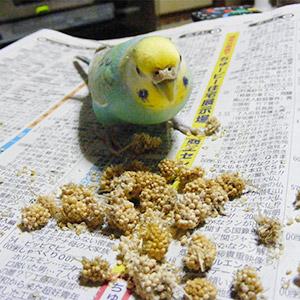 鳥フォトコンテスト「ぴーちゃん」さん