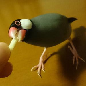桜文鳥 あずき 鳥フォトコンテストvol.026 テーマ「もぐもぐ」結果発表