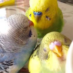 鳥フォトコンテスト「ミク・ビター・チョコ」さん