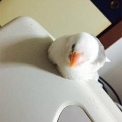 鳥フォトコンテスト「こはるちゃん」さん