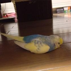 鳥フォトコンテスト「ぴのちゃん」さん