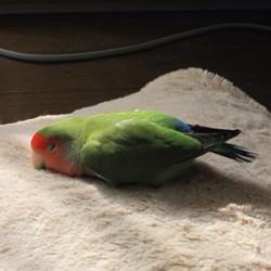 鳥フォトコンテスト「ピノ」さん