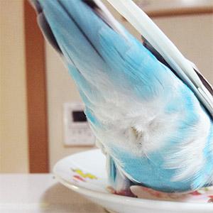 鳥フォトコンテスト「シルキー」さん