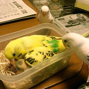 鳥フォトコンテスト「ふく・ごまファミリー」さん